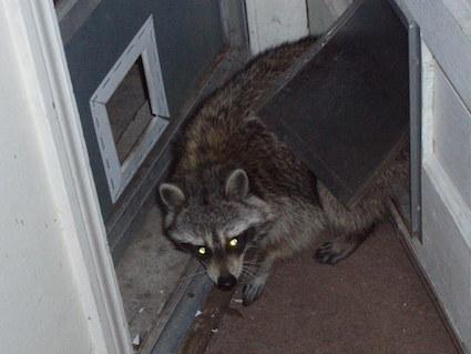 Mean Raccoon Damaging Home