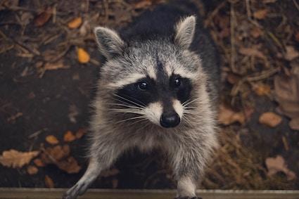 Raccoon In Woods Virginia