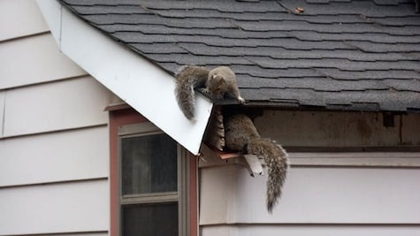 Squirrel Removal Attic Virginia