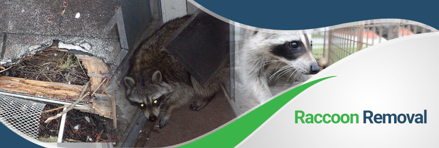Raccoon Removal From Attic In Virginia