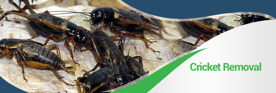 Cricket Removal in Fairfax, Alexandria and Arlington, VA