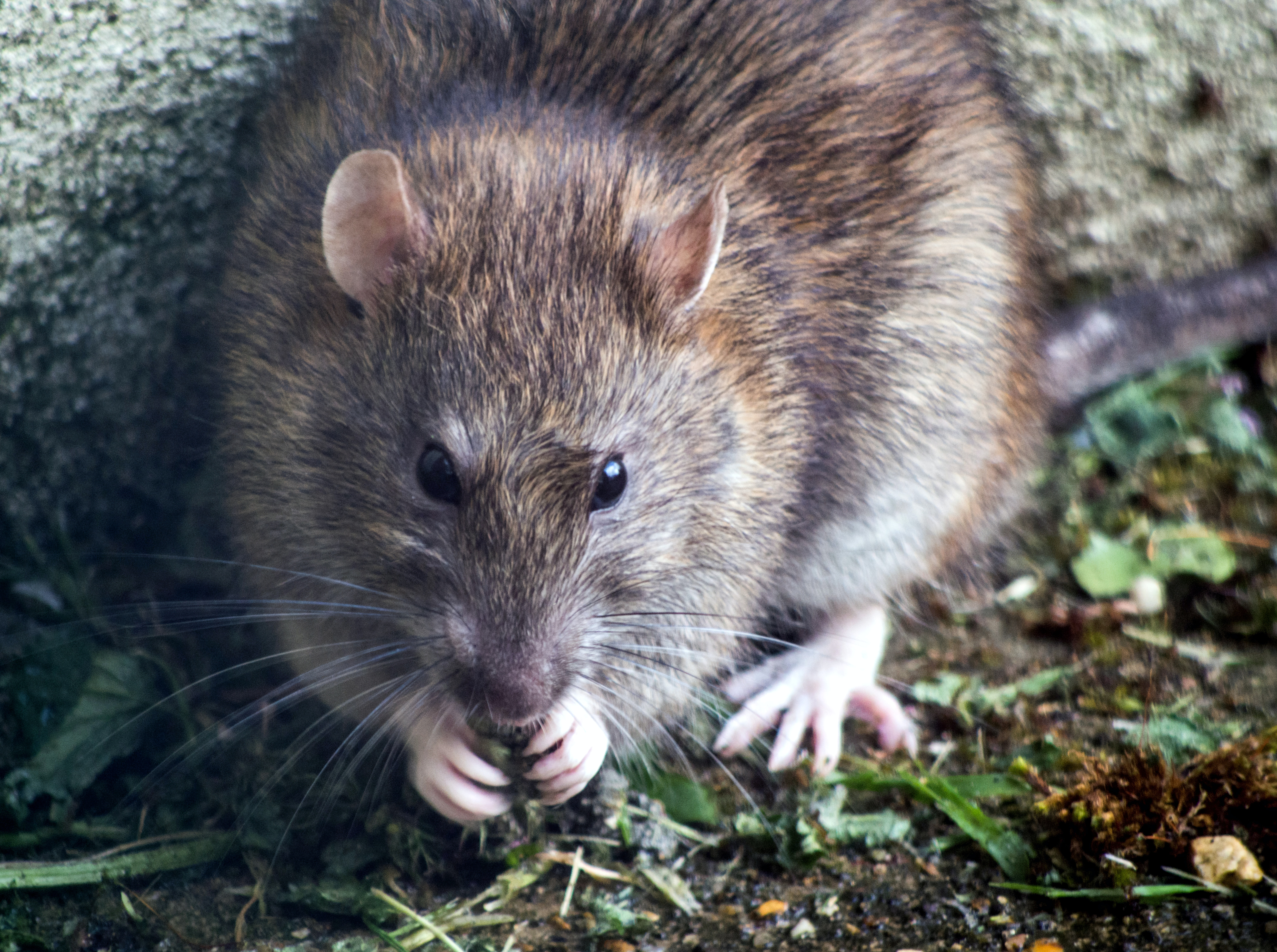 What is rodent control in Northern Virginia?