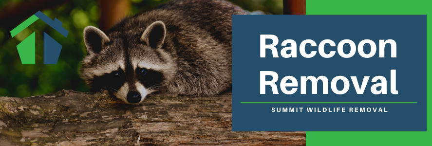 Raccoon Removal in Fairfax, Alexandria and Arlington, VA