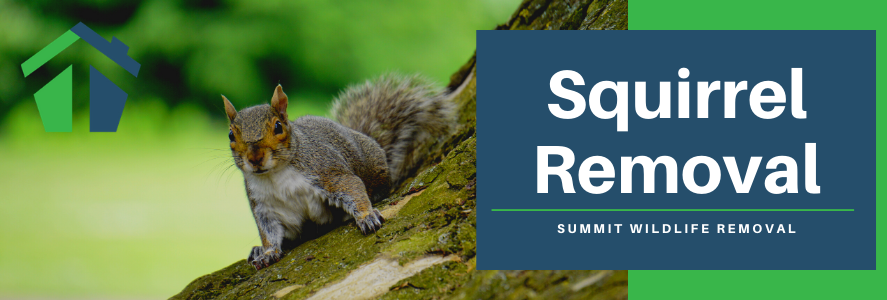 Squirrel Removal in Fairfax, Alexandria and Arlington, VA